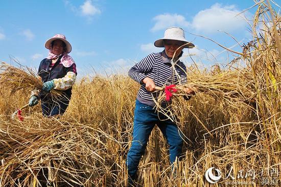 村民收割生态黑米稻