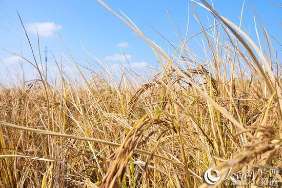 南宁市江南区苏圩镇佳棉村那棉坡种植的富硒现代生态黑米稻
