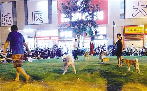 晚上9时许,在秀田路泸田街口小区草地上有不少市民在遛狗,这里已经形成一个遛狗点