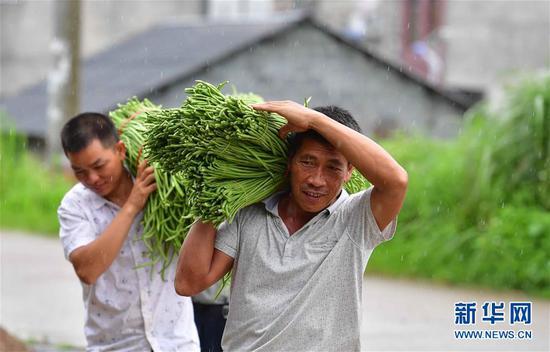 广西柳州市鱼峰区里雍镇龙团村村民搬运刚刚采收的豆角(7月9日摄)。新华社记者 黄孝邦 摄