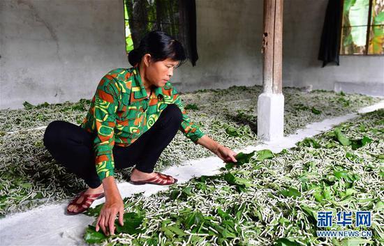 7月10日,在广西柳州市柳南区流山镇广荣村,村民在给蚕喂食桑叶。 新华社记者 黄孝邦 摄