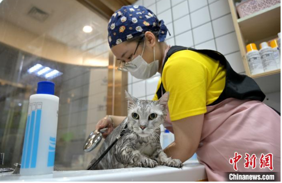 图为广西南宁市一动物医院内,工作人员为宠物猫洗香薰浴。 俞靖 摄