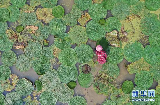 8月16日,东起乡良村村芡实种植户在采收芡实(无人机拍摄)。