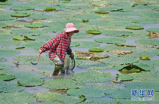 8月16日,东起乡良村村芡实种植户在采收芡实。