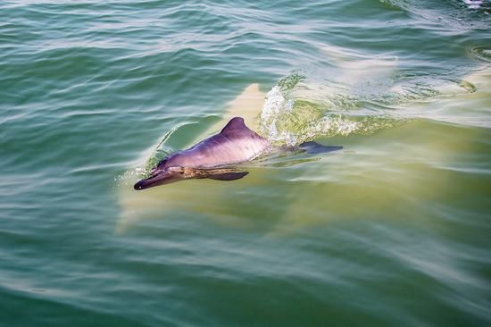 """碧水翻动,""""钦州的白海豚""""baby在成年白海豚的守护下畅快游玩!陈琳 摄"""