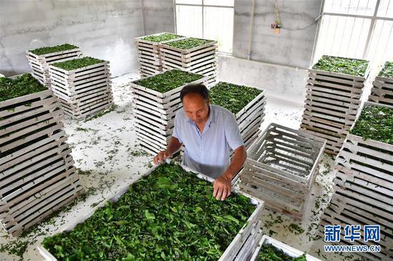 7月10日,在广西柳州市柳南区流山镇广荣村,村民在给蚕喂食桑叶