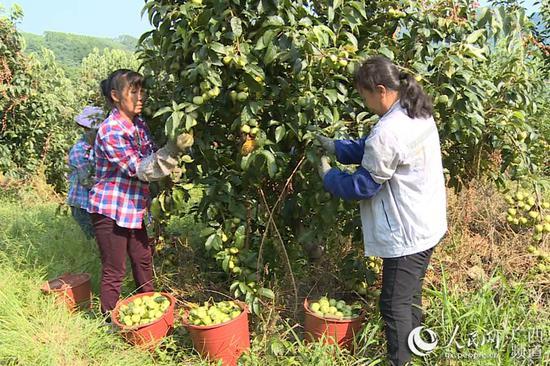 工人们在采摘大果山楂2