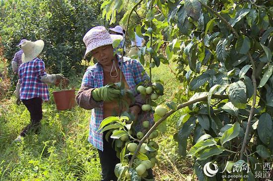 工人们在采摘大果山楂