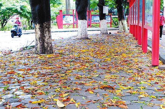 ◀风雨过后,路边铺满枯叶