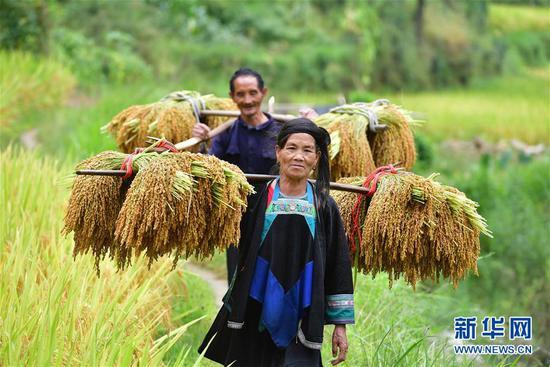 在黔桂乌英苗寨,村民挑着谷子回家(9月3日摄)。