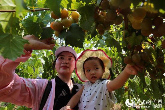 8月10日,在大苗山广西融水苗族自治县和睦镇和睦村下木村屯,母女俩在采摘圆叶葡萄