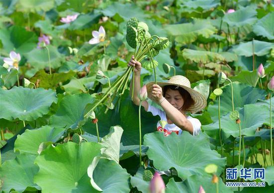 村民在广西鹿寨县中渡镇大兆村采莲蓬(8月23日摄)。