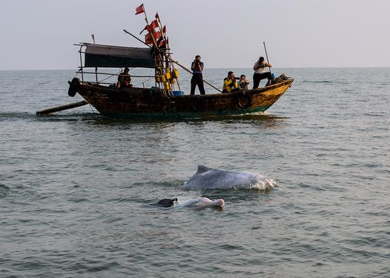 钦州的白海豚一家三口欢乐出游 陈琳 摄