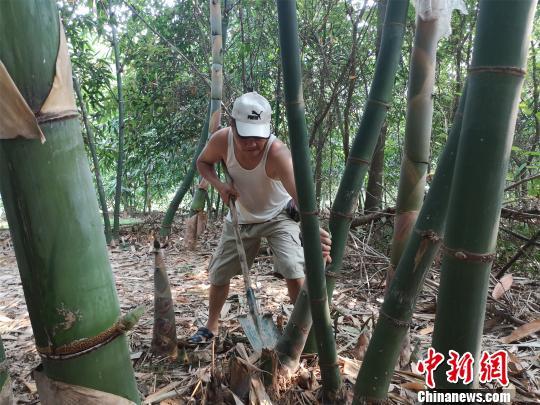 图为一农户收割竹笋。 林馨 摄