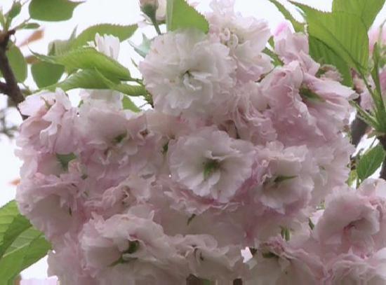 在广西就能赏樱花!28种樱花看花你的眼(图)