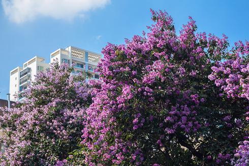 六月紫薇正盛 南宁半城绿树半城花