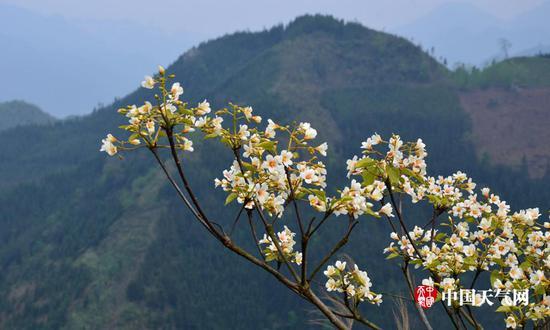 山间竟相开放的油桐花(摄影:尹华军)