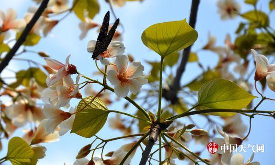油桐花开引蝶来(摄影:尹华军)