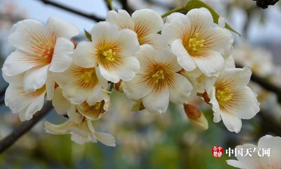 雪白的油桐花(摄影:尹华军)