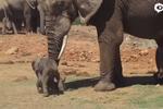 大象用鼻子将挡道小象甩飞 疑为求偶展示力量