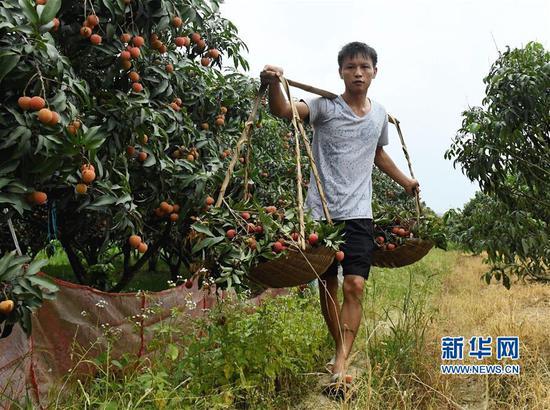 6月7日,灵山县檀圩镇檀圩村农民骆雪华在荔枝园内采摘荔枝。新华社记者 张爱林 摄
