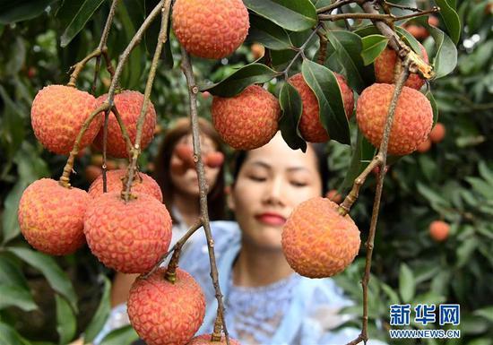6月7日,游客在灵山县檀圩镇一处荔枝园内采摘荔枝。新华社记者 张爱林 摄