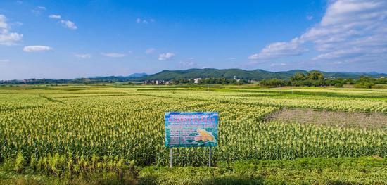 甜玉米之乡的电商爆款 横县甜玉米正热销