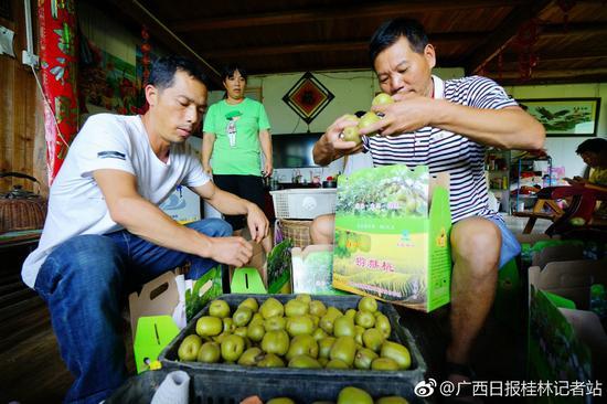 桂林:龙胜瓢里的红心猕猴桃熟了 吃货们来吗