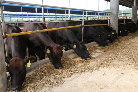 年产2万头雪花肉牛屠宰加工农业产业化项目是来宾现代农业产业园的重点项目之一。图为种牛养殖场。