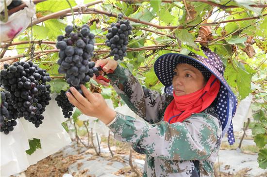 金凤凰葡萄园的高端葡萄品种丰富。