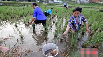 广西苗乡稻黄鱼肥吸引游客