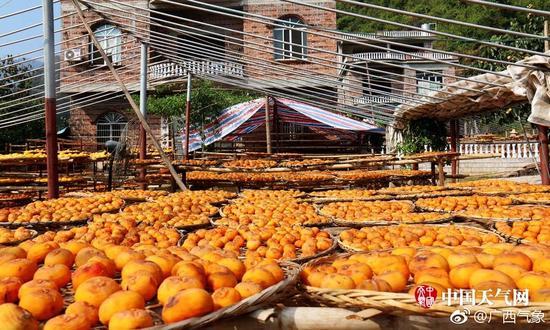 广西平乐县:月柿丰收 遍地金黄(多图)