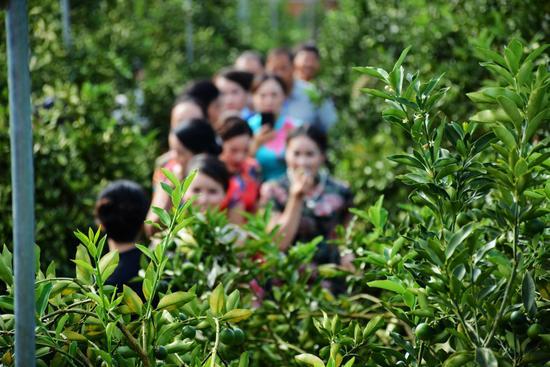 融安金桔已挂满枝头,今年将是丰收的一年
