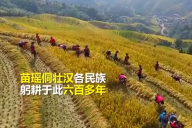 广西:梯田传承六百年 看红瑶同胞金秋开镰(视频)