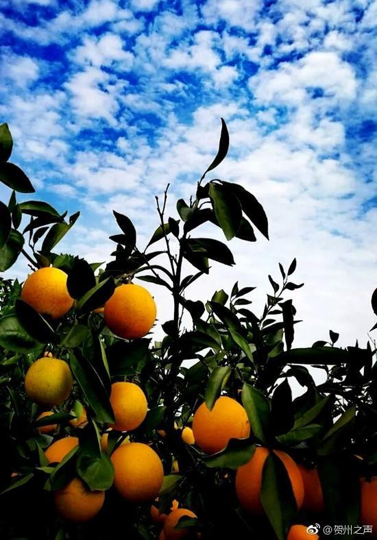 吃货们看过来!富川脐橙熟了 黄澄澄的橙子挂满枝
