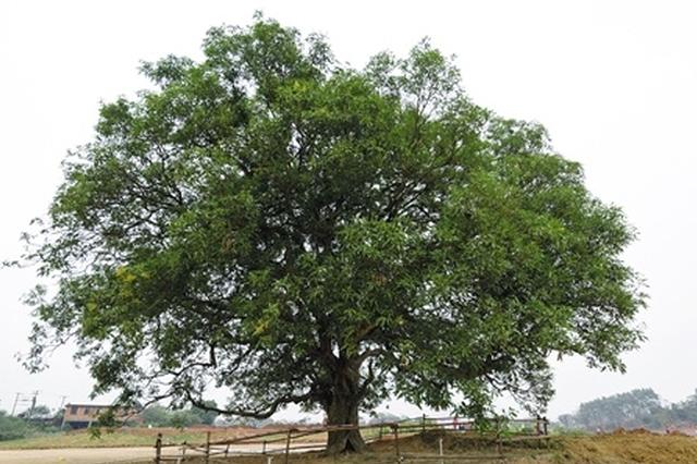 """园博园里发现一棵芒果""""树王"""" 树龄有200年"""