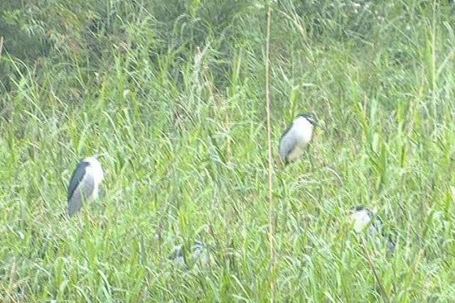 南宁市区有个湿地乐园 三四月份鹭鸟翩飞(图)