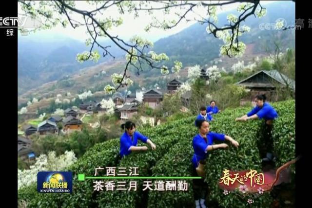三江又上《新闻联播》啦!茶香三月 美景惹人爱
