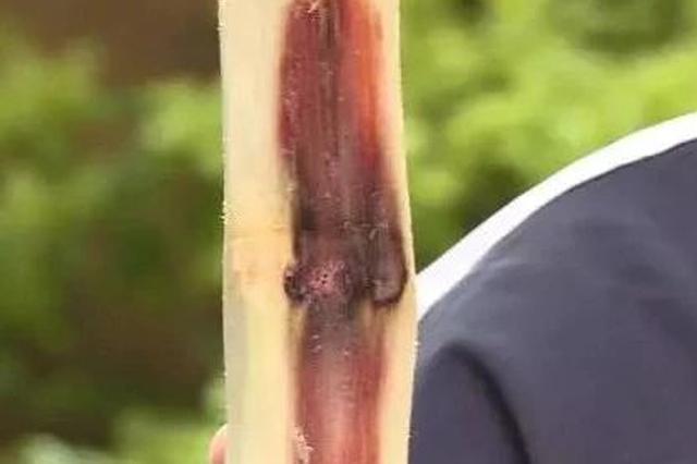 提醒家人!清明蔗毒过蛇 红心甘蔗不能吃(图)