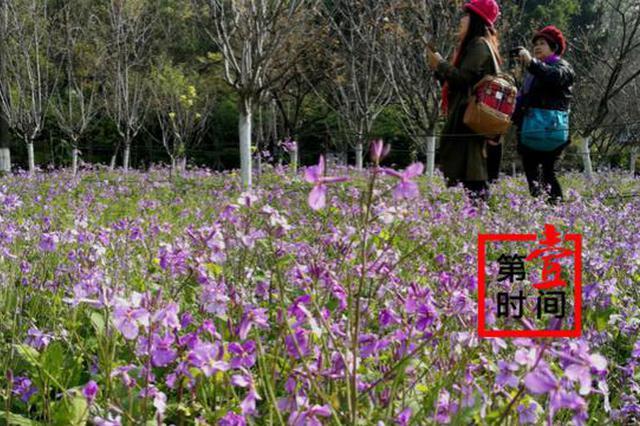 赏花不远行!桂林这个公园大草坪上的二月兰花开正艳