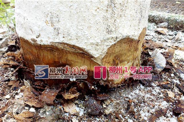 柳州这三棵高大玉兰树得罪了谁?一夜遭剥皮、灌盐水