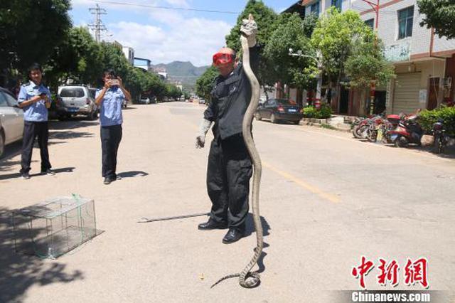 巨型眼镜王蛇爬进汽车座椅下 森警出动擒拿