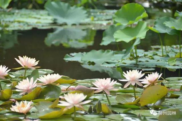 五月的天 柳州这些地方已开启花海模式!赏花看这里