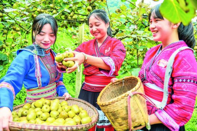 龙胜江底乡:300多亩红心猕猴桃助力农民脱贫致富