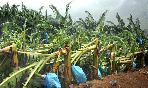 广西隆安几百株香蕉苗不翼而飞 原是被人挖