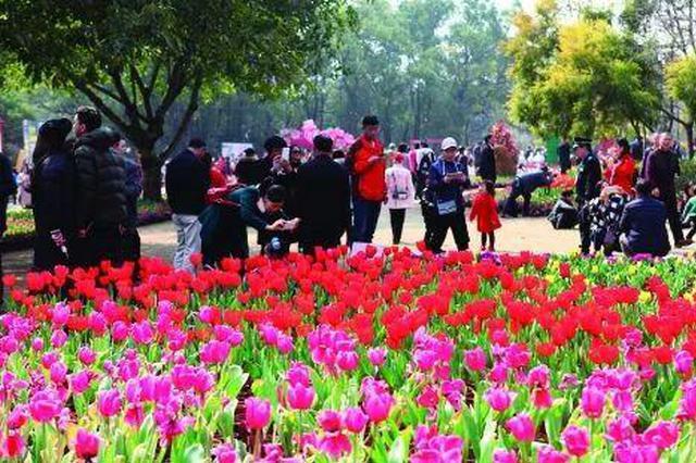 期待!新春桂林郁金香展进入培育阶段 47个品种12万盆