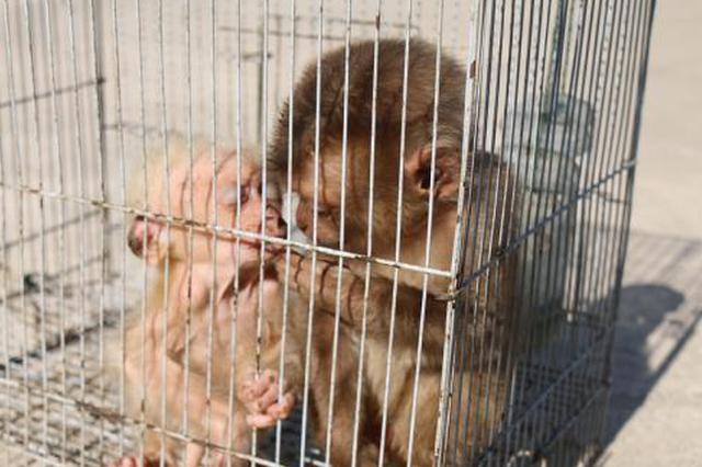 """两只豚尾猴幼崽获救 辅警化身""""奶爸奶妈""""悉心照料"""