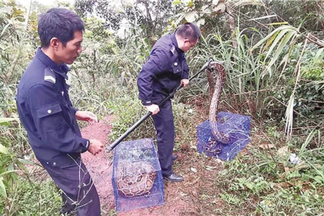 可怕!广西东兴两条大蟒蛇闯入果园 抓捕险象环生
