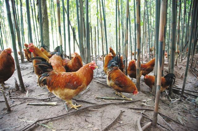 卖鸡钱低过成本!南宁这里的生态鸡滞销 养殖户发愁