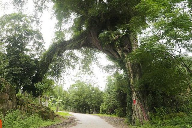 贵港竟藏这么多广西最美古树 你老家那株入选了吗